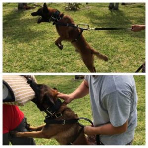Avisa-k9-Belgian-malinois-protection-male-for-sale-compact