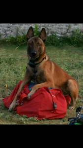 avisa-K9-Belgian-Malinois-Breeder-belgian-malinois-male-for-sale