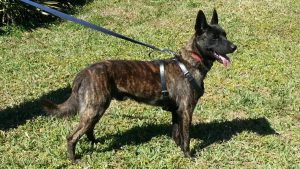 avisa-K9-Belgian-Malinois-Breeder-dutch-shepherd-for-sale